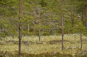 Citizen science data is often collected from areas close to population centres, like this mire in Skuleskogen National Park near the town of Örnskjöldsvik. © Ute Bradter