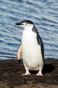Chinstrap Penguin ©Andrew Shiva