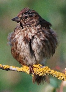 Song sparrows show substantial genetic variation in multiple life-history traits. Application of 'genetic group animal models' show that this is partly due to genetic effects of immigrants © Jane Reid