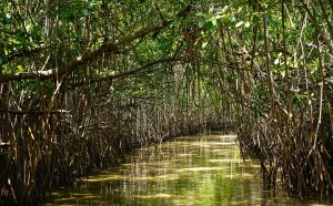 Mangrove vulnerability to sea level rise depends on both resilience and resistance. © Satdeep Gill