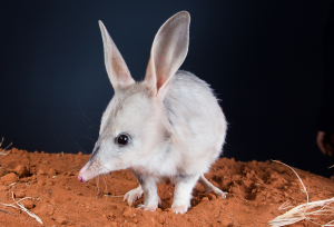 The greater bilby (M.Lagotis). ©Save the Bilby Fund