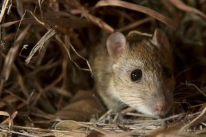 Pale Field Rat (R. Tunneyi). ©Steve Murphy