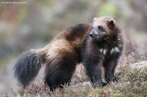 Wolverine (Gulo gulo) © Kjetil Schjølberg, Rovdata