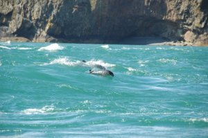 Harbour porpoises in Ramsey Sound, UK. ©Magnus Manske