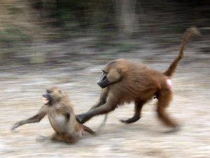 No question about the outcome of this interaction: a male Guinea baboon chases a female. © Julia Fischer.