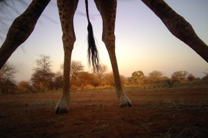 Using machine learning techniques, the computer is shown full and partial images of animals from various angles of animals, such as this giraffe standing over the camera, to help it recognize future images of giraffes. Image credit: ©Panthera
