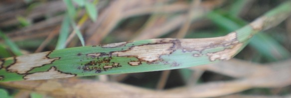 Tall fescue infected with fungal pathogen, Rhizoctonia solani. ©Brooklynn Newberry