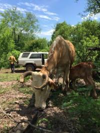 Recientemente equipada con una unidad de cámara y GPS VACAMS, la vaca No. 1691 se dirige al bosque con su becerro. ©Carlos A. de la Rosa
