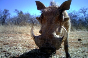 The computer's accuracy rates for identifying specific species, like this warthog, are between 88.7 percent and 92.7 percent. Image credit: ©Panthera