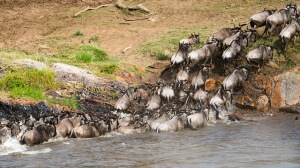 Wildebeests crossing Mara River. ©Christoph Strässler