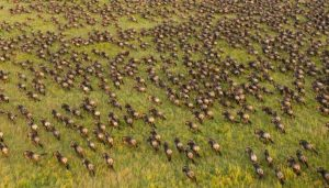 A wildebeest herd in the Serengeti. ©Daniel Rosengren