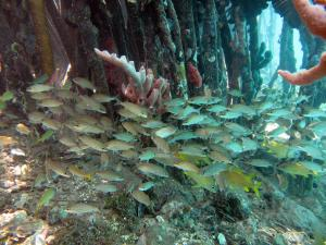 Grunts and other fish in mangroves. Photo by Caroline Rogers.