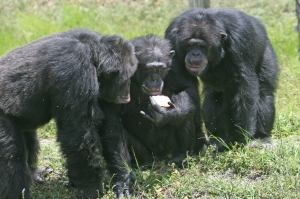chimpanzees with an apple. Photo by Matthew Hoelscher. CC-SA.
