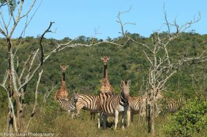 Zebras and giraffes walking. Photo by Kirsty Lucas.