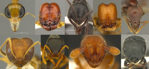 Head view of different ant species found in Hong Kong and further in SE Asia.