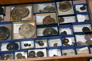 The source of occurrence data: fossil collections (Early Jurassic ammonites in the collection of the University of Erlangen-Nuremberg, photo by Konstantin Frisch)