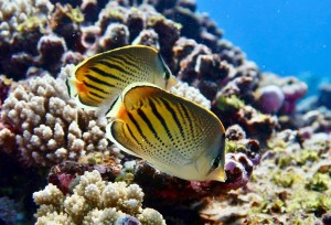 The sunset butterflyfish: one of the study species whose diet we studied with DNA metabarcoding ©Jordan Casey