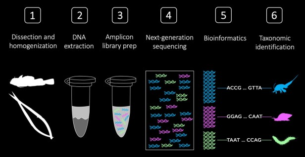 The steps of fish gut content DNA metabarcoding ©Jordan Casey