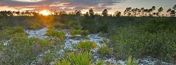 Archbold Biological Station - site of numerous long-term demographic studies, including that of Eryngium cuneifolium used in this paper. ©Reed Bowman