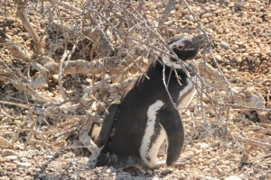 A magellanic penguin tagged with a biologging device. ©William Kay