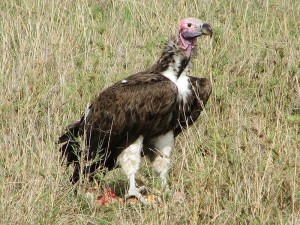 Bringing movement ecologists and remote sensing experts together can help monitoring programs for endangered species such as the Lappet-faced Vulture. © Dick Daniels
