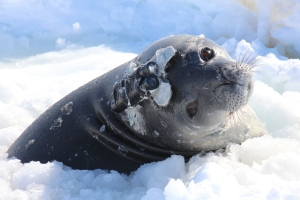 An adult Weddell seal with an infrared camera logger. ©Mr Dominik Nachtsheim