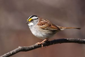 White-throated sparrow. ©Cephas