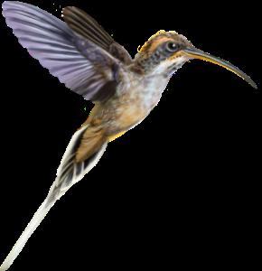 Scale-throated Hermit (Phaethornis eurynome). ©Pedro Lorenzo.