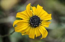 asteraceae-montane-forest-peruvian-biodiversity-peruvian-amazon-biodiversity